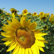 Sunflower field — Stock Photo #1663448