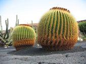 Cacti in Lanzarote — Stock Photo