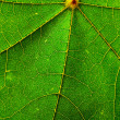 Leaf of the maple close-up - Stock Photo