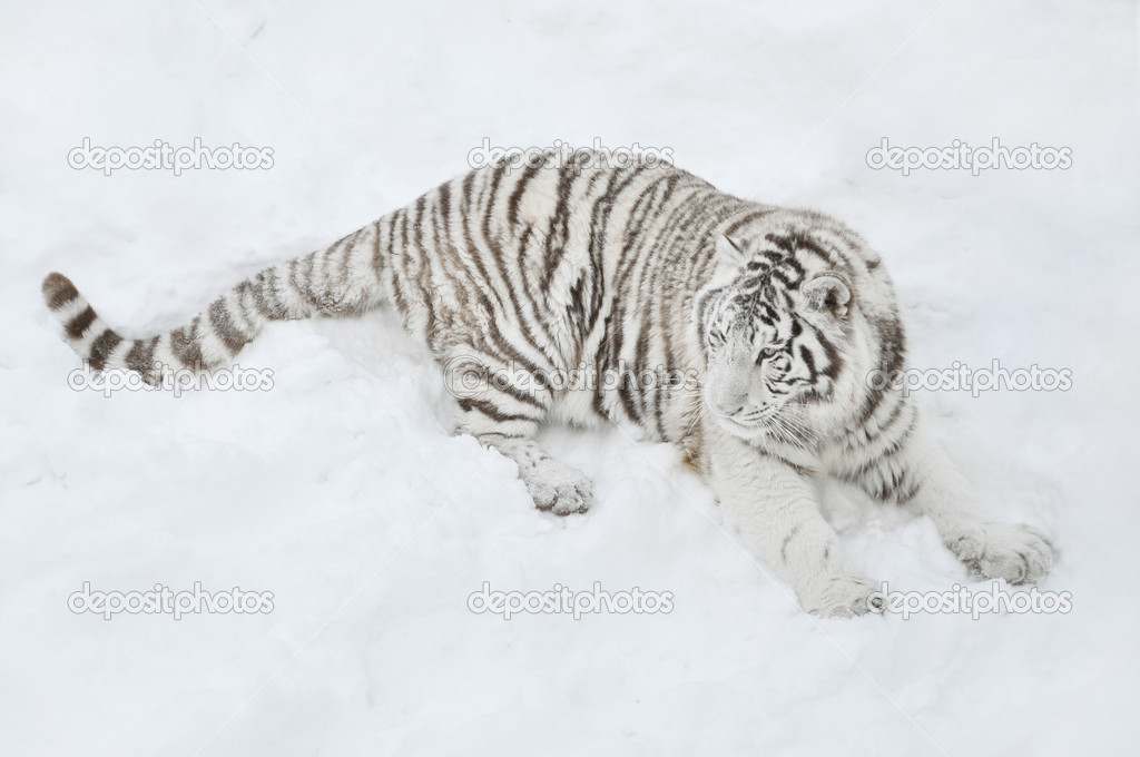 White tigers in snow