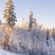 Winter forest on the slope — Stock Photo