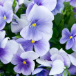 Pansy Flowers - Stock Photo