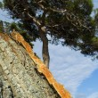 Pine on the littoral rock - Stock Photo