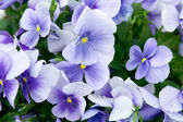 Pansy flores. — Foto Stock