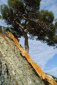 Pine on the littoral rock — Stock Photo
