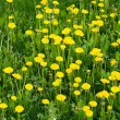 Dandelions — Stock Photo #1797281