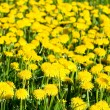 Dandelions — Stock Photo #1797442