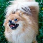 Spitz dog — Stock Photo