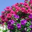 Variety of petunias — Stock Photo