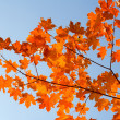 Red maple branch - Stock Photo