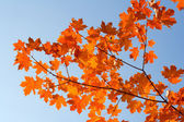 Red maple branch — Stock Photo