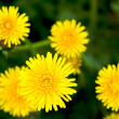 Meadow with yellow dandelions - Stock Photo