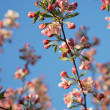 Apple tree blossoms branch — Stock Photo