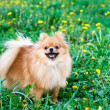 Spitz dog — Stock Photo