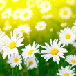 Daisy flower - Stock Photo