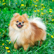 Spitz dog on a green lawn — Stock Photo #1913626