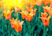 Spring tulips — Stockfoto