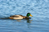 Anas platyrhynchos - wild duck floating on the water — Stockfoto
