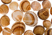 Seashell - background — Stock Photo
