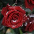 A red rose in the snow — Stock Photo #1696645