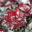 Stock Photo: A red rose in the snow