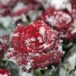 Red rose in snow — Stock Photo #1696768