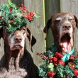 Christmas with pointer sisters — Stock Photo #1698630