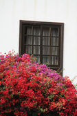 Bougainvillea growing — Stock Photo