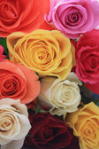 Different colors of roses — Stock Photo