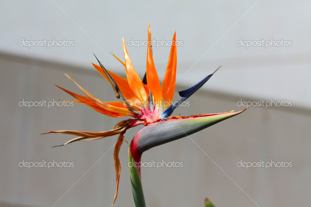 Flower Of Bird Of Paradise, Strelitzia Reginae  — Stock Photo #1695410