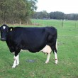 Black cow - Stockfoto