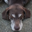 Germain shorthaired pointer - 图库照片