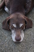 Germain shorthaired pointer — Stock Photo