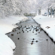 Ducks in a frozen ditch — Stock Photo