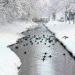 Ducks in a frozen ditch - Stock Photo