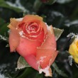 Frosted roses — Stock Photo #1714195