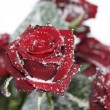 Solitaire snow rose — Stock Photo