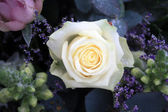 White rose with snow crystals — Stock Photo