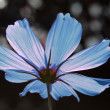 Stock fotografie: Other side of blue cosmos