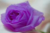 Jediné lila fialové růže s kapky vody — Stock fotografie