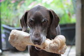 German shorthaired pointer — 图库照片
