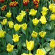Field with yellow tulips — Stock Photo