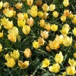 Stock Photo: Field with yellow tulips