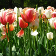 Stock Photo: Field with mixed tulips