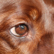Irish Setter eye — Stock Photo