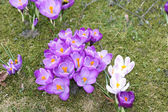 Purple spring crocuses — Stock Photo