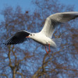 Seagull flying in blue sky — Stock Photo