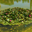 The water lily of a garden in Seville — Stock Photo
