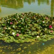 Stock Photo: Water lily of garden in Seville