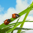 Two ladybird — Stock fotografie